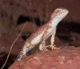 Lizards of Australia (Agamidae)
