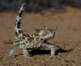 Moloch horridus
