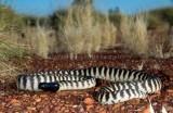Snakes of Australia (Pythonidae)