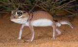 Lizards of Australia (Carphodactylidae)