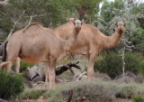 Mammals of Australia (Dingo and ferals)