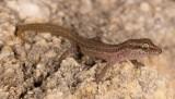 Crenadactylus tuberculatus