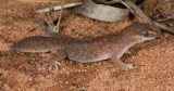 Diplodactylus laevis