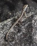 Amphibolurus gilberti