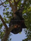 Mammals of Australia (Bats)