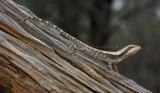 Diporiphora amphiboluroides