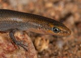 Proablepharus tenuis