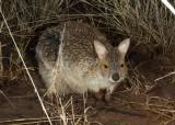 Mammals of Australia (Kangaroos and Wallabies)