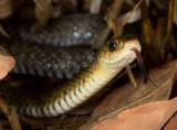 Snakes of Australia (Colubridae)