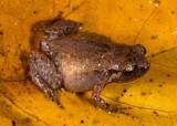 Cophixalus aenigma