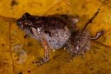 Cophixalus infacetus