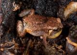 Cophixalus monticola