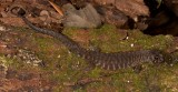 Gnypetoscincus queenlandiae