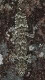 Saltuarius wyberba