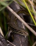 Eulamprus leuraensis