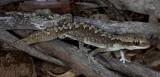 Diplodactylus calcicolus