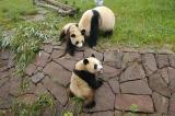 105 - Panda Reservate, Chengdu