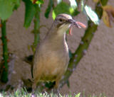 Calif. Thrasher with breakfast
