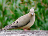Mourning Dove loves the camera