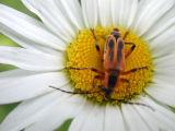 bug on daisy