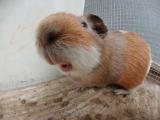 Bob the big nosed guinea pig (i stand corrected)