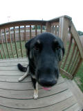 bella the big nosed dog