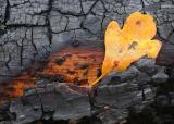 Fallen Leaf on Burnt Log .jpg