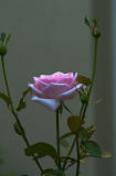 x9755_A LateLast Rose.jpg