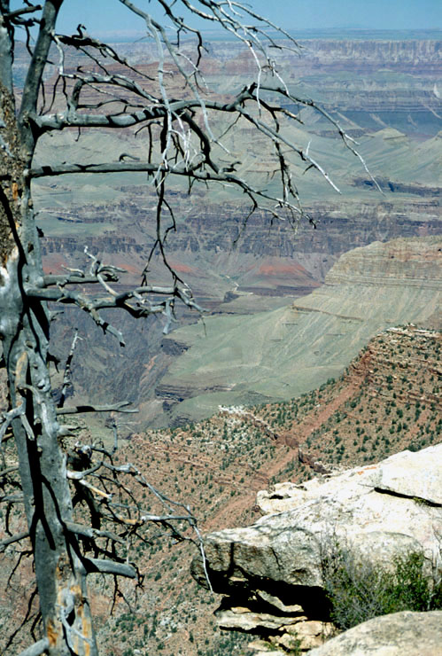 Tree on the edge of Grand Canyon