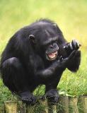Chimp.