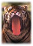 Amur Tiger.