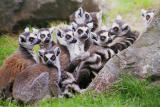 Ring tailed lemurs.