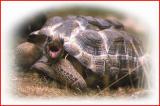 Aldabra  tortoise.