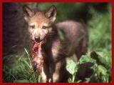 Wolf cub.