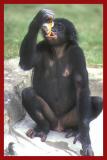 Bonobo.