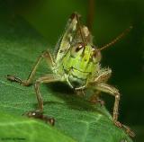 Funny Faced Grasshopper