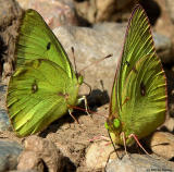 Two Cloudless Sulfer Butterflies 1