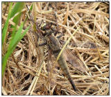 Robber Fly Eating a Dragon