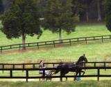 American Saddle Bred