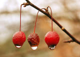 Dried Crabapples with Raindrops