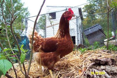 Chickens 092801 1.JPG