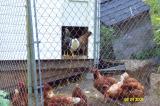 Chickens 082401 -2.JPG