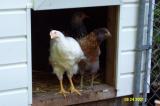 Chickens 082401 -6.JPG