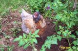 Chickens 092801 3.JPG