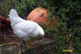 Chickens 092801 5.JPG