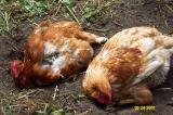 Chickens Fluffing.JPG