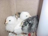 chicks 2- 060801 .JPG