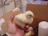 chicks 4- 060801 .JPG