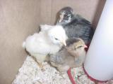 chicks 6- 060801 .JPG