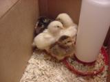 chicks 7- 060801 .JPG
